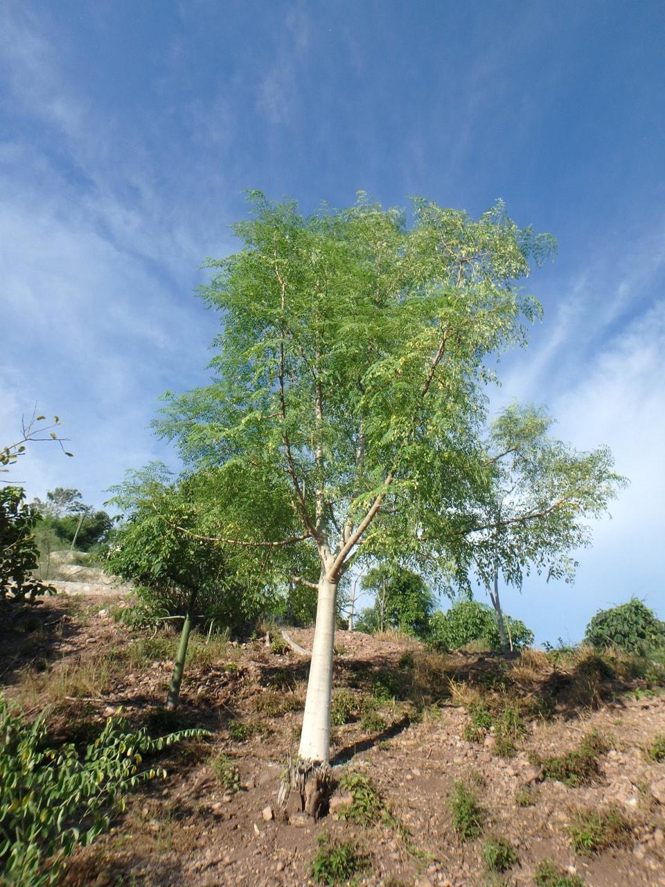 All Categories - The International Moringa Germplasm Collection